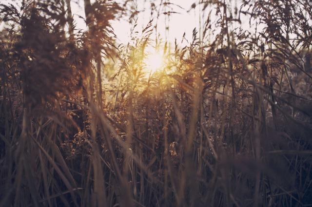 Sunset through corn